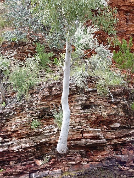 Tree_in_the_rock_wittenoom_gorge.jpg